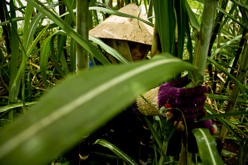 Vietnamese sugarcane farming