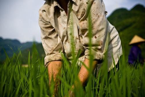 Rice Farmer in Vietnam